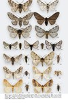 Moths of Great Britain and Ireland page 542