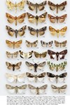 Moths of Great Britain and Ireland page 555